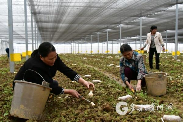 开阳县:坝区产业为群众带来持续增收 三农 第2张