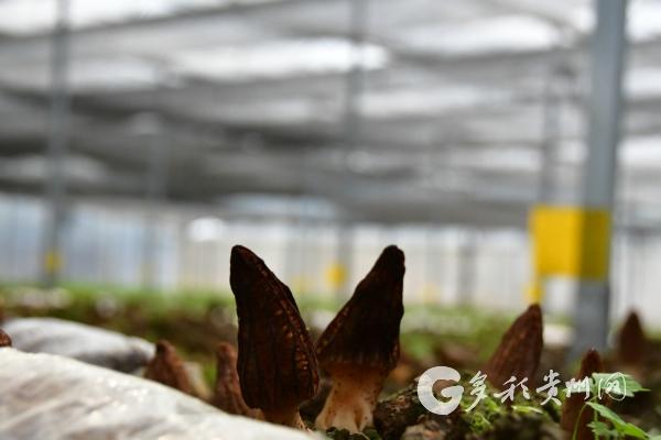 开阳县:坝区产业为群众带来持续增收 三农 第5张
