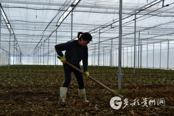 开阳县:坝区产业为群众带来持续增收 三农 第6张