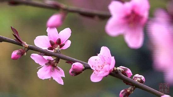 峨眉山南十里桃花,乐山这个小村的春天美翻了 旅游 第2张