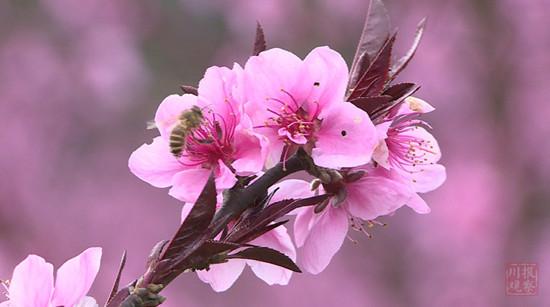 峨眉山南十里桃花,乐山这个小村的春天美翻了 旅游 第4张