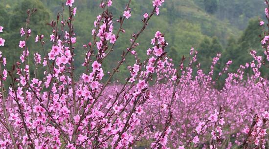 峨眉山南十里桃花,乐山这个小村的春天美翻了 旅游 第1张